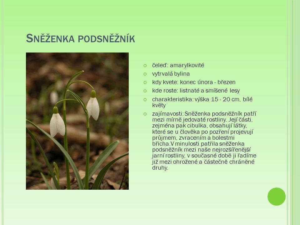 S NĚŽENKA PODSNĚŽNÍK čeleď: amarylkovité vytrvalá bylina kdy kvete: konec února - březen kde roste: listnaté a smíšené lesy charakteristika: výška 15 - 20 cm, bílé květy zajímavosti: Sněženka podsněžník patří mezi mírně jedovaté rostliny.
