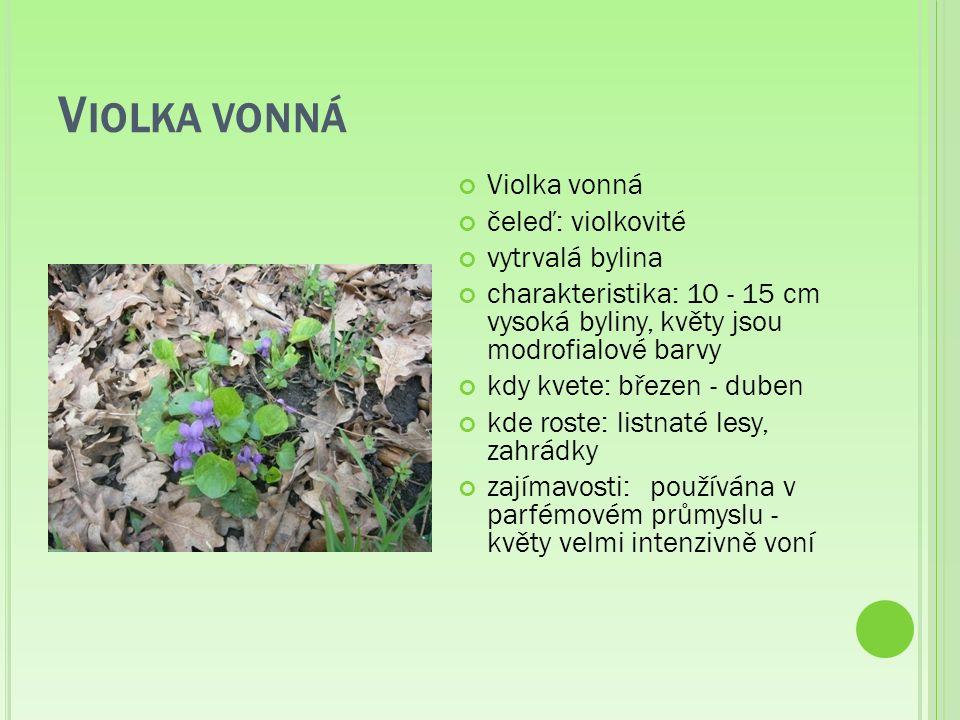 V IOLKA VONNÁ Violka vonná čeleď: violkovité vytrvalá bylina charakteristika: 10 - 15 cm vysoká byliny, květy jsou modrofialové barvy kdy kvete: březen - duben kde roste: listnaté lesy, zahrádky zajímavosti:používána v parfémovém průmyslu - květy velmi intenzivně voní