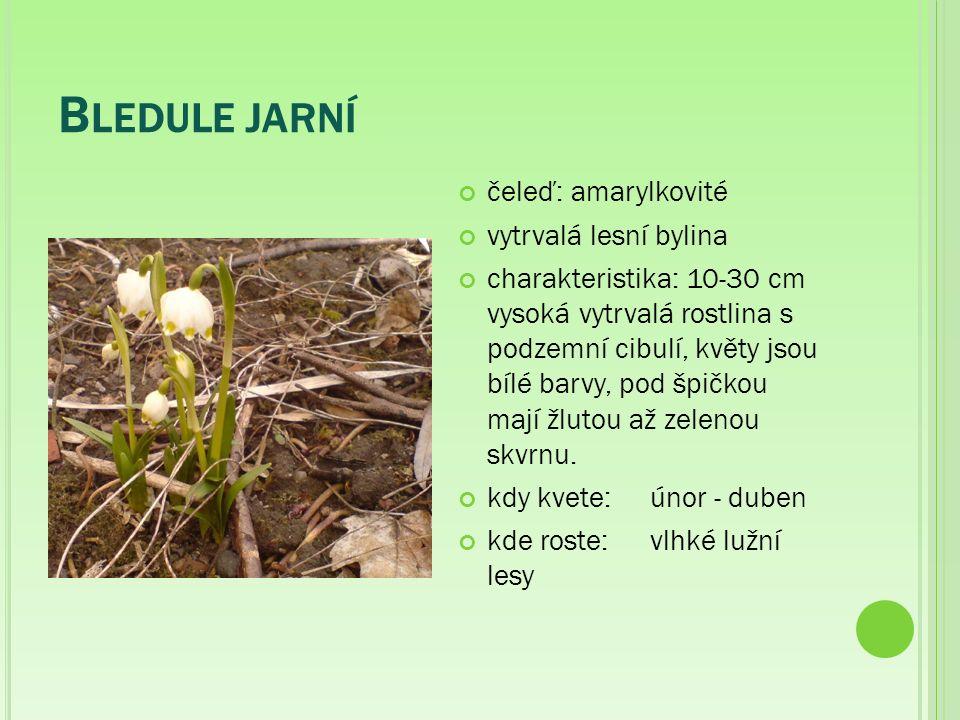 B LEDULE JARNÍ čeleď: amarylkovité vytrvalá lesní bylina charakteristika: 10-30 cm vysoká vytrvalá rostlina s podzemní cibulí, květy jsou bílé barvy, pod špičkou mají žlutou až zelenou skvrnu.