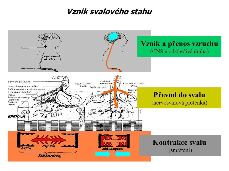 Vznik a přenos vzruchu (CNS a odstředivá dráha) Převod do svalu (nervosvalová ploténka) Kontrakce svalu (smrštění) Vznik svalového stahu