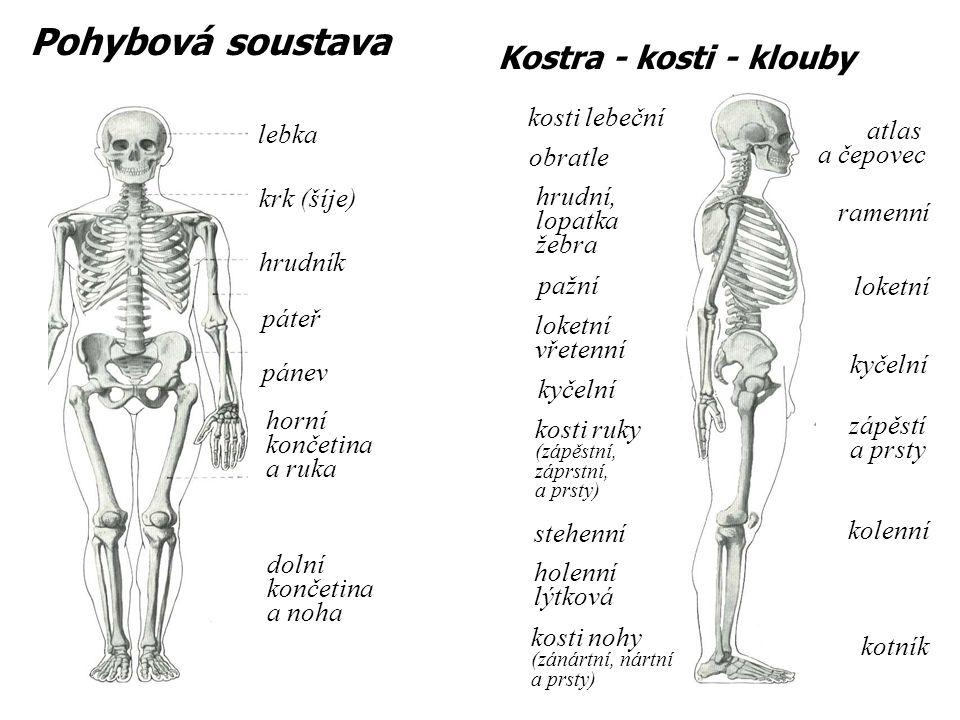Pohybová soustava lebka krk (šíje) hrudník horní končetina a ruka pánev páteř kosti lebeční obratle pažní hrudní, lopatka žebra loketní vřetenní kyčel
