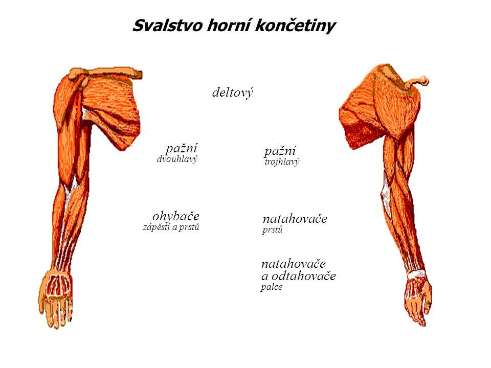 Svalstvo horní končetiny pažní dvouhlavý ohybače zápěstí a prstů deltový pažní trojhlavý natahovače prstů natahovače a odtahovače palce