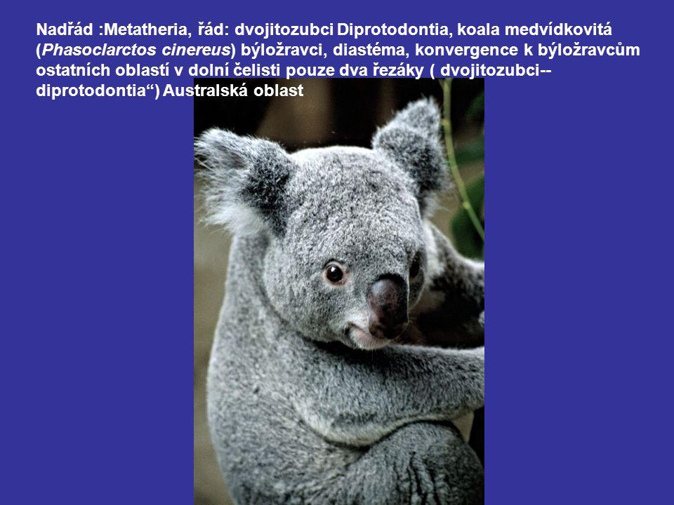 Nadřád :Metatheria, řád: dvojitozubci Diprotodontia, koala medvídkovitá (Phasoclarctos cinereus) býložravci, diastéma, konvergence k býložravcům ostatních oblastí v dolní čelisti pouze dva řezáky ( dvojitozubci-- diprotodontia ) Australská oblast