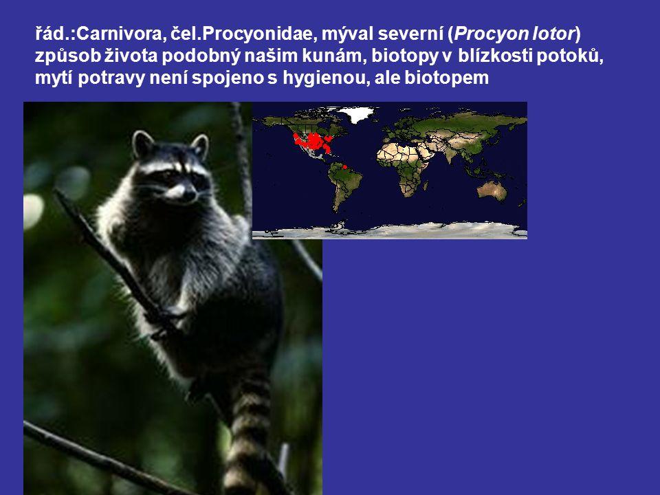 řád.:Carnivora, čel.Procyonidae, mýval severní (Procyon lotor) způsob života podobný našim kunám, biotopy v blízkosti potoků, mytí potravy není spojeno s hygienou, ale biotopem