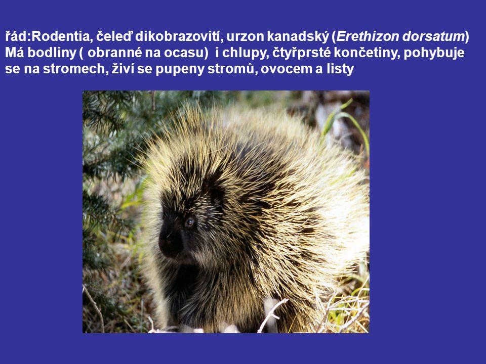 řád:Rodentia, čeleď dikobrazovití, urzon kanadský (Erethizon dorsatum) Má bodliny ( obranné na ocasu) i chlupy, čtyřprsté končetiny, pohybuje se na st