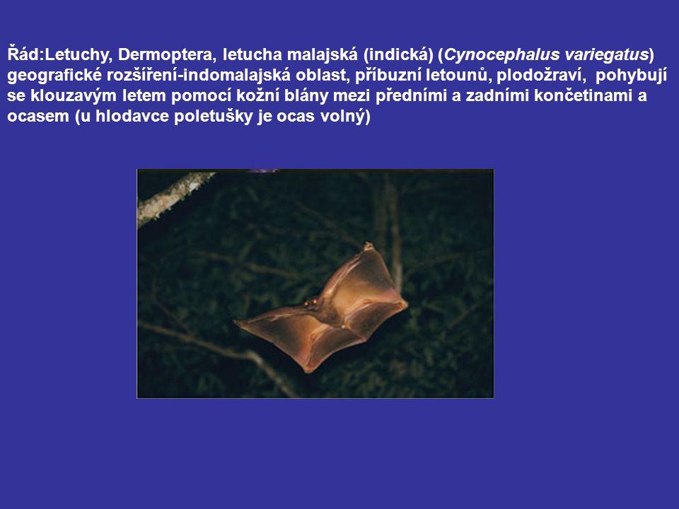 Řád:Letuchy, Dermoptera, letucha malajská (indická) (Cynocephalus variegatus) geografické rozšíření-indomalajská oblast, příbuzní letounů, plodožraví,