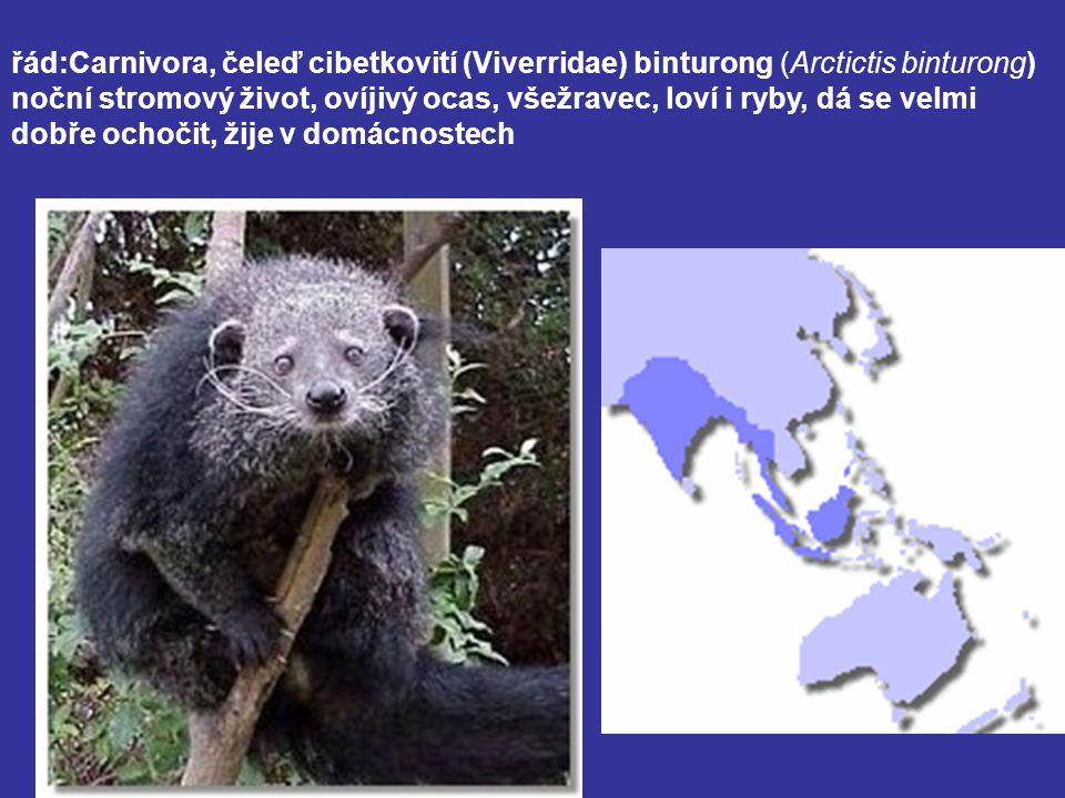 řád:Carnivora, čeleď cibetkovití (Viverridae) binturong (Arctictis binturong) noční stromový život, ovíjivý ocas, všežravec, loví i ryby, dá se velmi dobře ochočit, žije v domácnostech