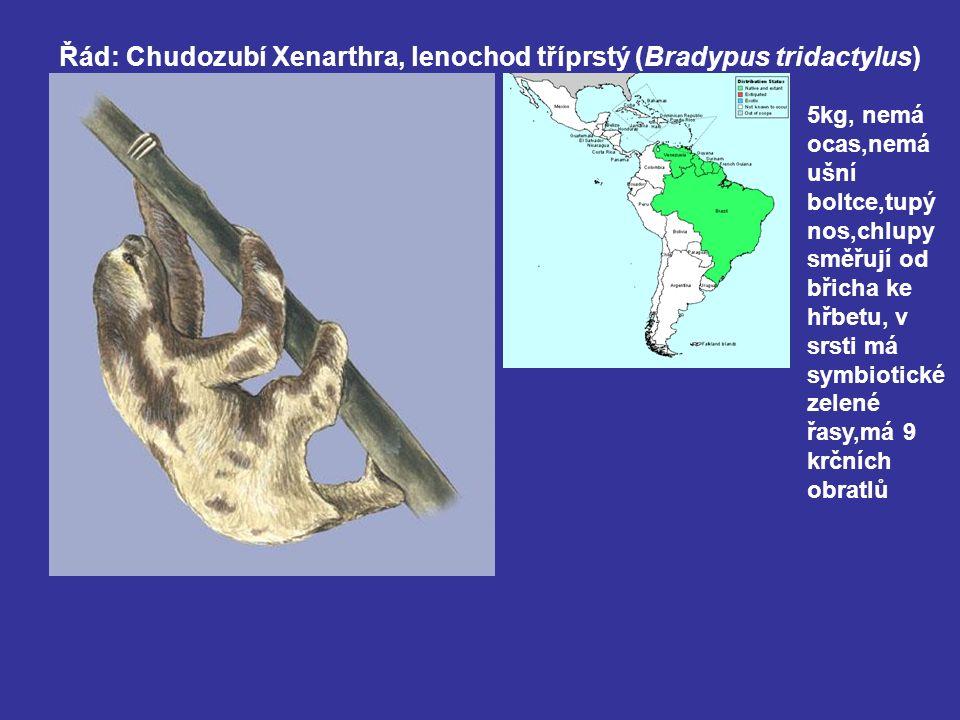 Řád: Chudozubí Xenarthra, lenochod tříprstý (Bradypus tridactylus) 5kg, nemá ocas,nemá ušní boltce,tupý nos,chlupy směřují od břicha ke hřbetu, v srsti má symbiotické zelené řasy,má 9 krčních obratlů
