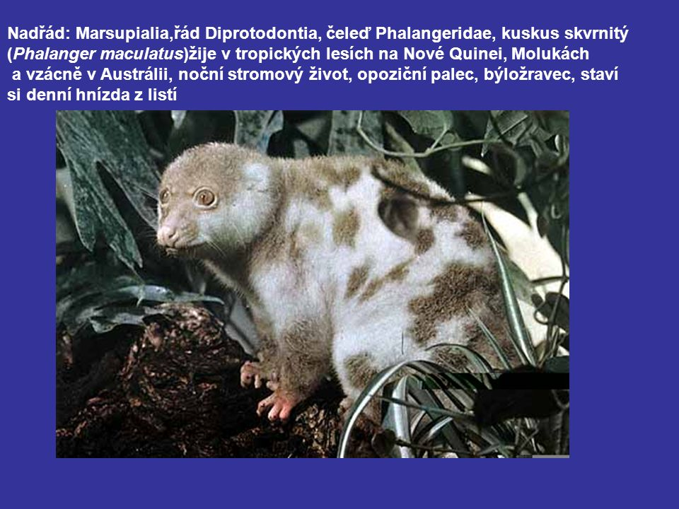 Nadřád: Marsupialia,řád Diprotodontia, čeleď Phalangeridae, kuskus skvrnitý (Phalanger maculatus)žije v tropických lesích na Nové Quinei, Molukách a vzácně v Austrálii, noční stromový život, opoziční palec, býložravec, staví si denní hnízda z listí