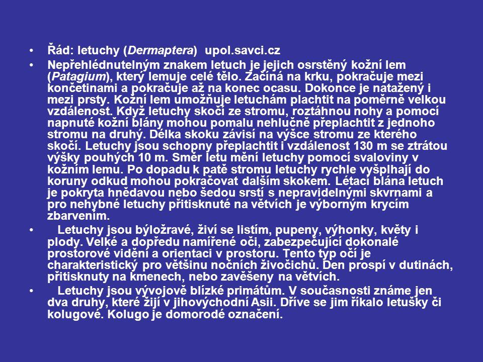Řád: letuchy (Dermaptera) upol.savci.cz Nepřehlédnutelným znakem letuch je jejich osrstěný kožní lem (Patagium), který lemuje celé tělo.