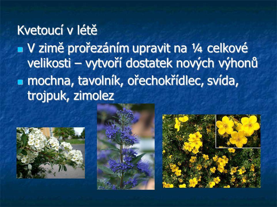 Kvetoucí v létě V zimě prořezáním upravit na ¼ celkové velikosti – vytvoří dostatek nových výhonů V zimě prořezáním upravit na ¼ celkové velikosti – vytvoří dostatek nových výhonů mochna, tavolník, ořechokřídlec, svída, trojpuk, zimolez mochna, tavolník, ořechokřídlec, svída, trojpuk, zimolez
