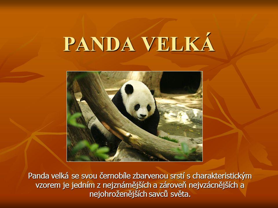 PANDA VELKÁ Panda velká se svou černobíle zbarvenou srstí s charakteristickým vzorem je jedním z nejznámějších a zároveň nejvzácnějších a nejohroženěj