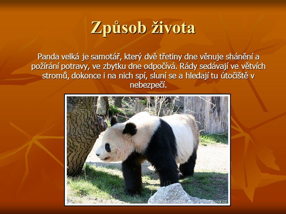 Způsob života Panda velká je samotář, který dvě třetiny dne věnuje shánění a požírání potravy, ve zbytku dne odpočívá. Rády sedávají ve větvích stromů