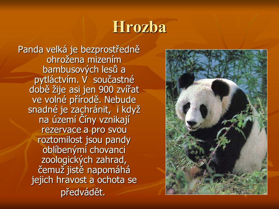 Hrozba Panda velká je bezprostředně ohrožena mizením bambusových lesů a pytláctvím. V součastné době žije asi jen 900 zvířat ve volné přírodě. Nebude