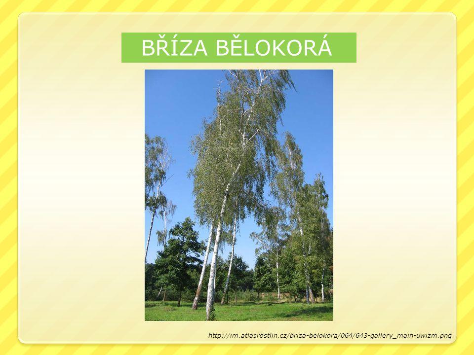 BŘÍZA BĚLOKORÁ http://im.atlasrostlin.cz/briza-belokora/064/643-gallery_main-uwizm.png