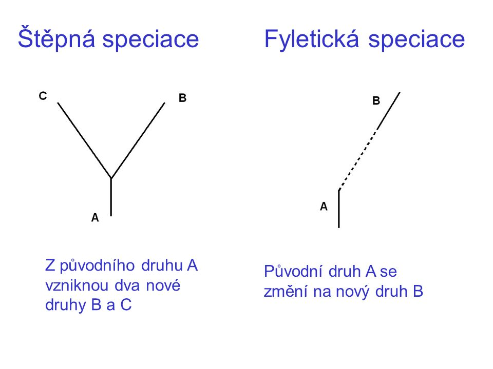 Štěpná speciaceFyletická speciace Z původního druhu A vzniknou dva nové druhy B a C Původní druh A se změní na nový druh B