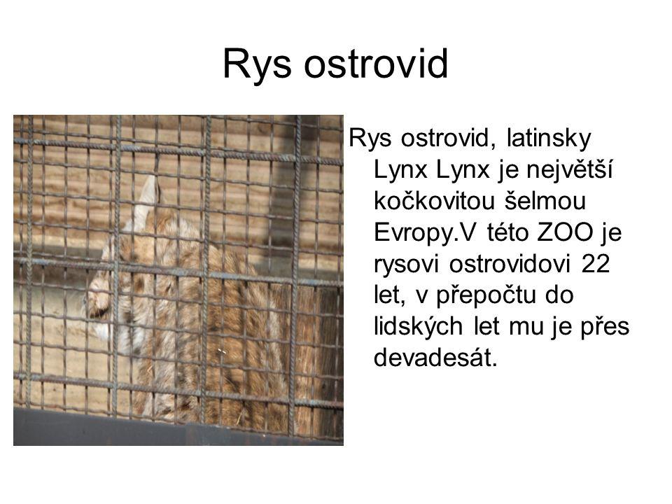 Rys ostrovid Rys ostrovid, latinsky Lynx Lynx je největší kočkovitou šelmou Evropy.V této ZOO je rysovi ostrovidovi 22 let, v přepočtu do lidských let