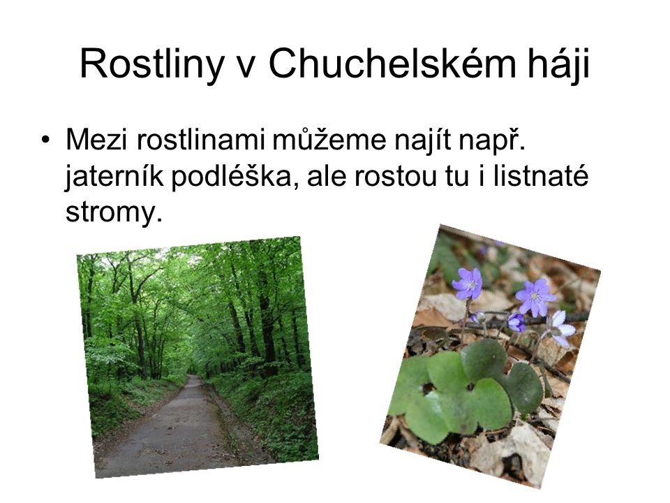 Rostliny v Chuchelském háji Mezi rostlinami můžeme najít např. jaterník podléška, ale rostou tu i listnaté stromy.