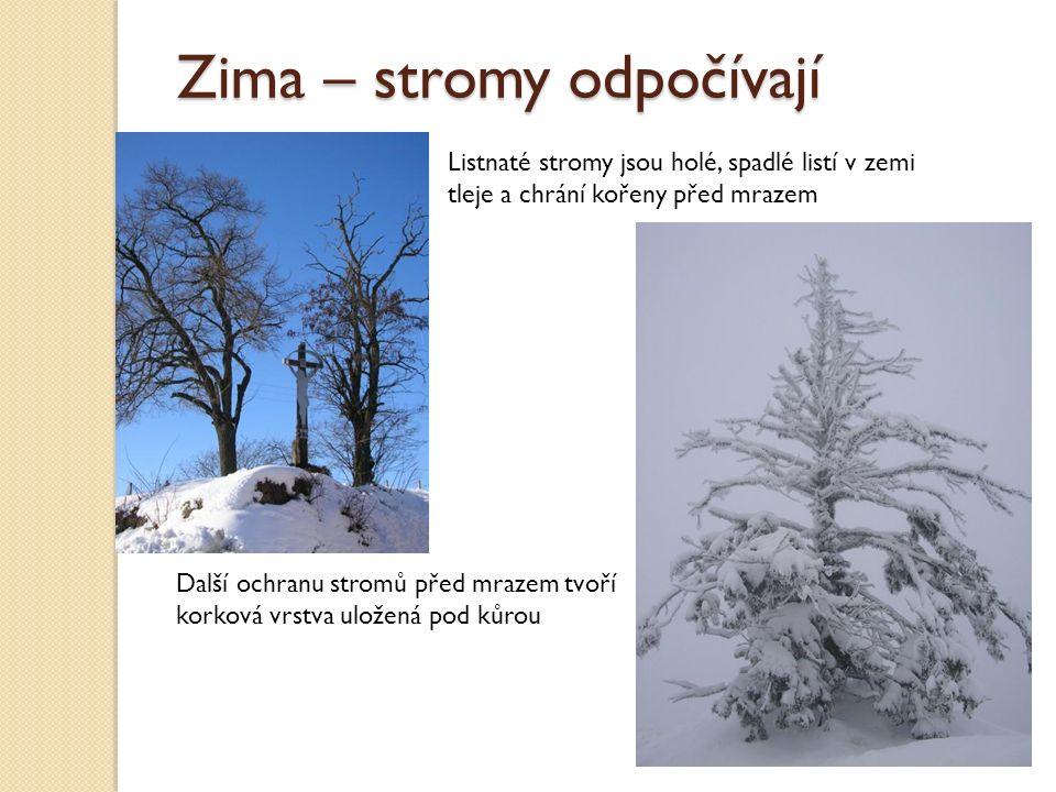 Zima – stromy odpočívají Listnaté stromy jsou holé, spadlé listí v zemi tleje a chrání kořeny před mrazem Další ochranu stromů před mrazem tvoří korková vrstva uložená pod kůrou