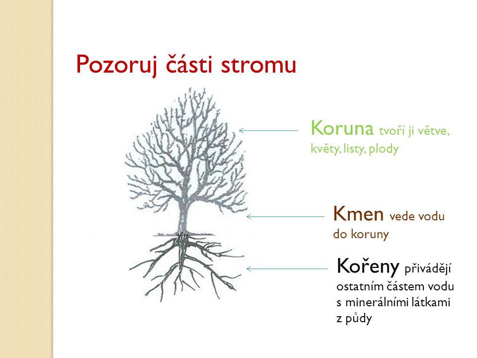 Pozoruj části stromu Koruna tvoří ji větve, květy, listy, plody Kmen vede vodu do koruny Kořeny přivádějí ostatním částem vodu s minerálními látkami z půdy