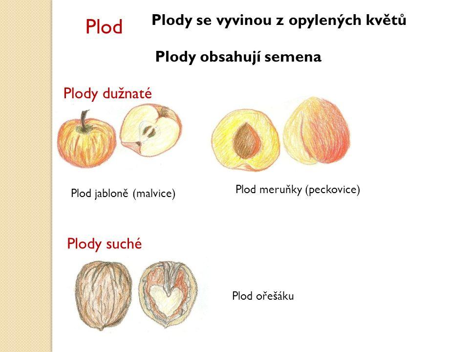 Plod Plody se vyvinou z opylených květů Plody obsahují semena Plody dužnaté Plod jabloně (malvice) Plod meruňky (peckovice) Plody suché Plod ořešáku