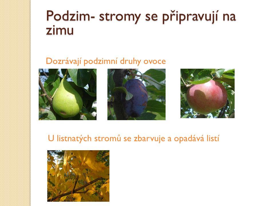 Podzim- stromy se připravují na zimu Dozrávají podzimní druhy ovoce U listnatých stromů se zbarvuje a opadává listí