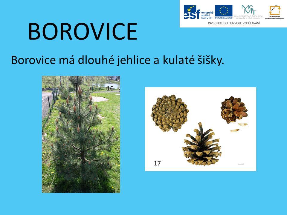 BOROVICE Borovice má dlouhé jehlice a kulaté šišky. 16 17