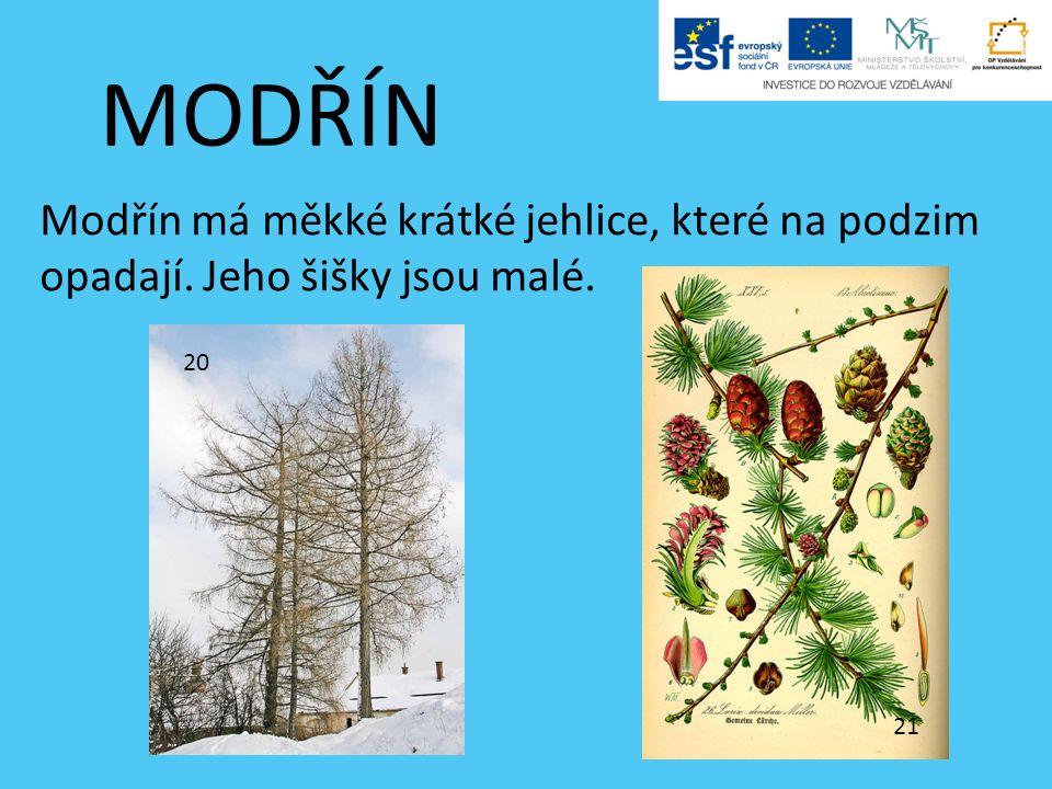 MODŘÍN Modřín má měkké krátké jehlice, které na podzim opadají. Jeho šišky jsou malé. 20 21