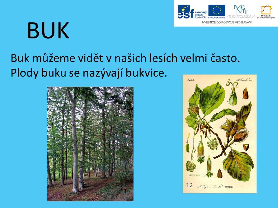 BUK Buk můžeme vidět v našich lesích velmi často. Plody buku se nazývají bukvice. 11 12
