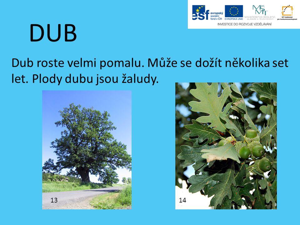 DUB Dub roste velmi pomalu. Může se dožít několika set let. Plody dubu jsou žaludy. 1314