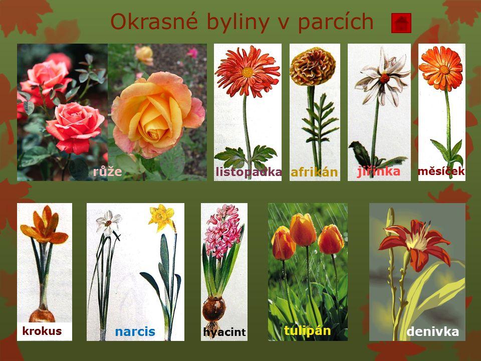Okrasné byliny v parcích růže krokus narcis hyacin t tulipán denivka jiřinka afrikán listopadka měsíček