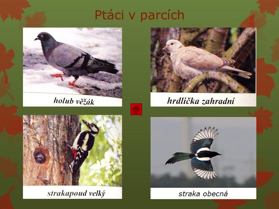 Ptáci v parcích straka obecná