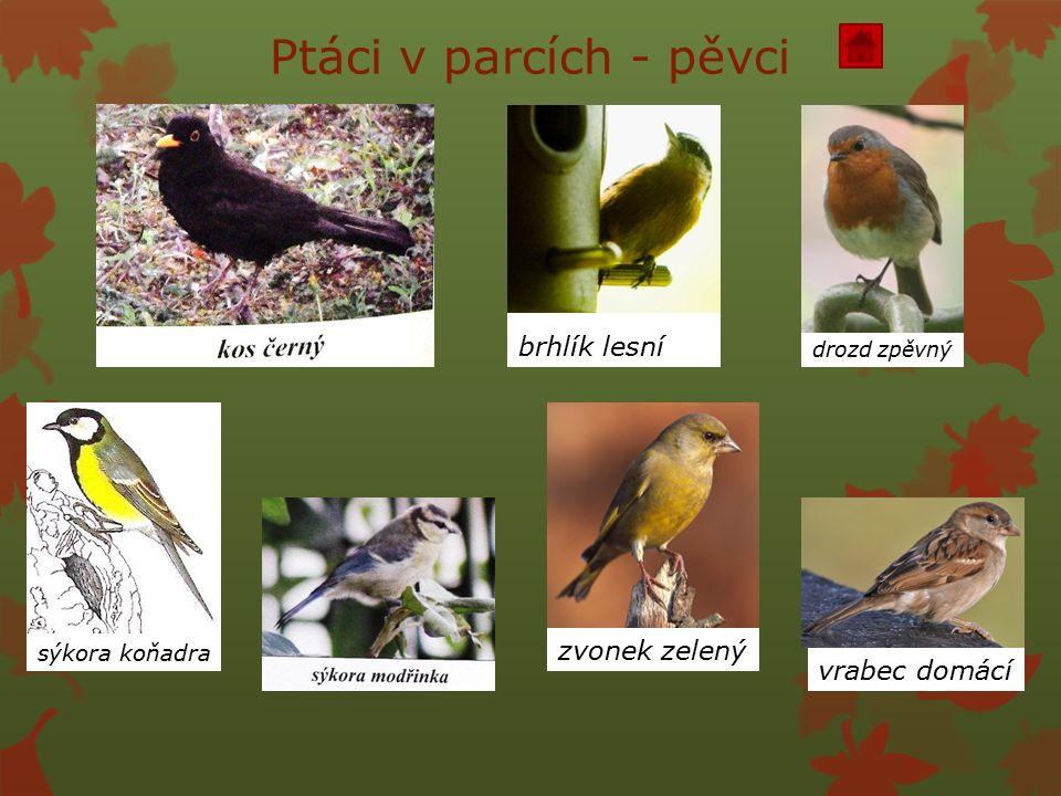 Ptáci v parcích - pěvci brhlík lesní drozd zpěvný zvonek zelený vrabec domácí sýkora koňadra