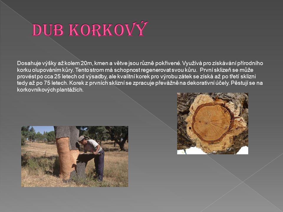 Dosahuje výšky až kolem 20m, kmen a větve jsou různě pokřivené. Využívá pro získávání přírodního korku olupováním kůry. Tento strom má schopnost regen
