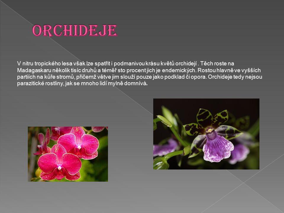 V nitru tropického lesa však lze spatřit i podmanivou krásu květů orchidejí. Těch roste na Madagaskaru několik tisíc druhů a téměř sto procent jich je
