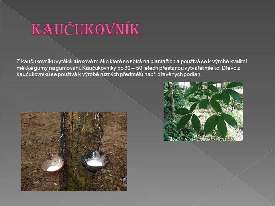 Z kaučukovníku vytéká latexové mléko které se sbírá na plantážích a používá se k výrobě kvalitní měkké gumy na gumování. Kaučukovníky po 30 – 50 letec