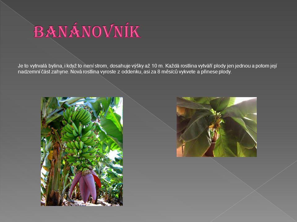Je to vytrvalá bylina, i když to není strom, dosahuje výšky až 10 m. Každá rostlina vytváří plody jen jednou a potom její nadzemní část zahyne. Nová r