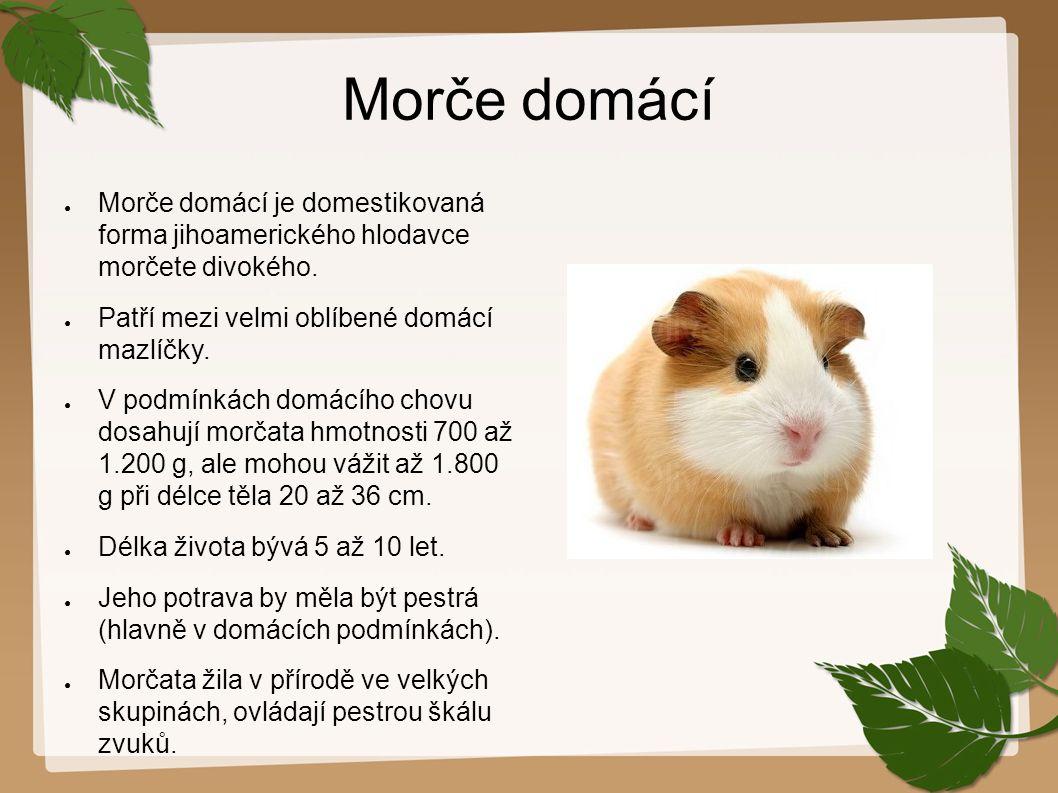 Morče domácí ● Morče domácí je domestikovaná forma jihoamerického hlodavce morčete divokého. ● Patří mezi velmi oblíbené domácí mazlíčky. ● V podmínká