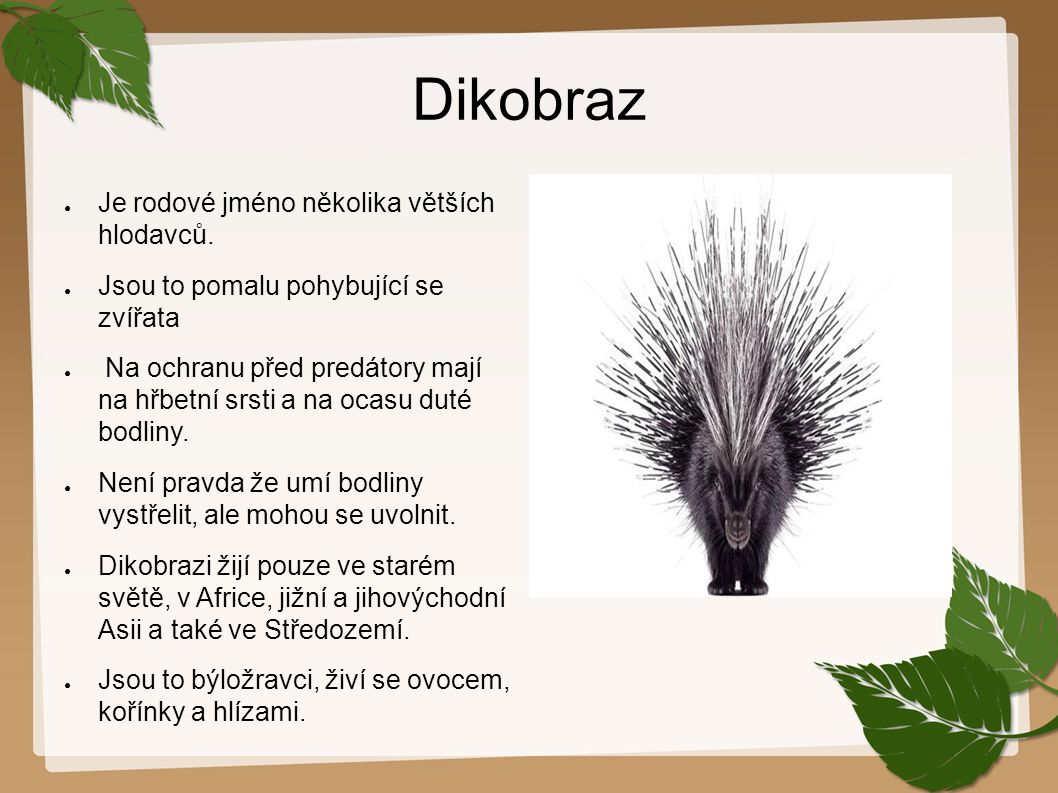 Dikobraz ● Je rodové jméno několika větších hlodavců. ● Jsou to pomalu pohybující se zvířata ● Na ochranu před predátory mají na hřbetní srsti a na oc