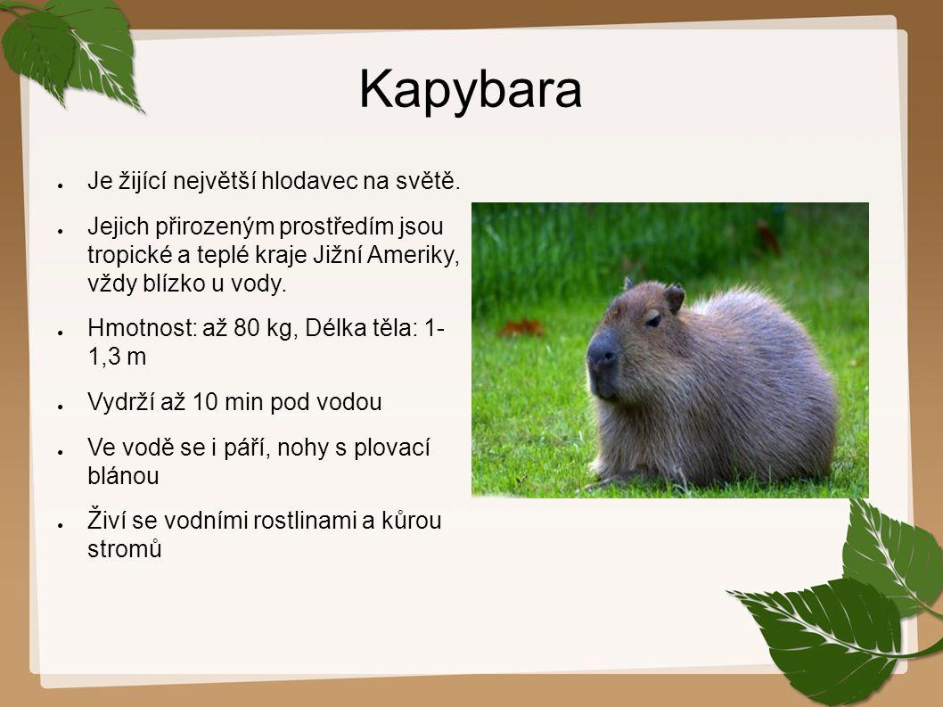 Kapybara ● Je žijící největší hlodavec na světě. ● Jejich přirozeným prostředím jsou tropické a teplé kraje Jižní Ameriky, vždy blízko u vody. ● Hmotn