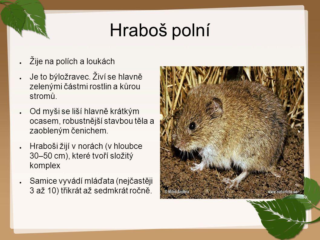 Hraboš polní ● Žije na polích a loukách ● Je to býložravec. Živí se hlavně zelenými částmi rostlin a kůrou stromů. ● Od myši se liší hlavně krátkým oc