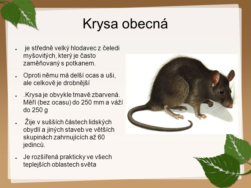 Krysa obecná ● je středně velký hlodavec z čeledi myšovitých, který je často zaměňovaný s potkanem. ● Oproti němu má delší ocas a uši, ale celkově je