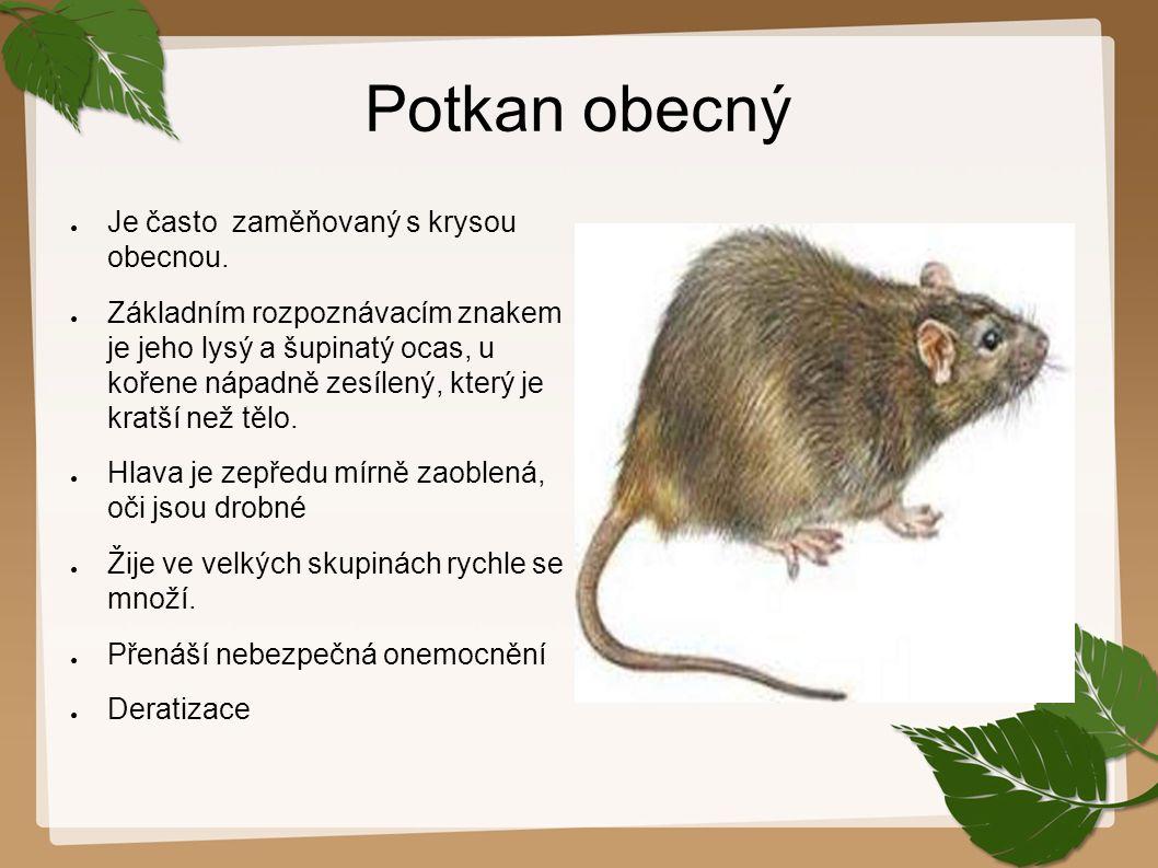 Potkan obecný ● Je často zaměňovaný s krysou obecnou. ● Základním rozpoznávacím znakem je jeho lysý a šupinatý ocas, u kořene nápadně zesílený, který