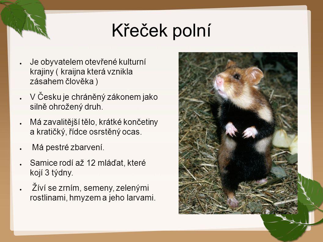 Křeček polní ● Je obyvatelem otevřené kulturní krajiny ( kraijna která vznikla zásahem člověka ) ● V Česku je chráněný zákonem jako silně ohrožený druh.