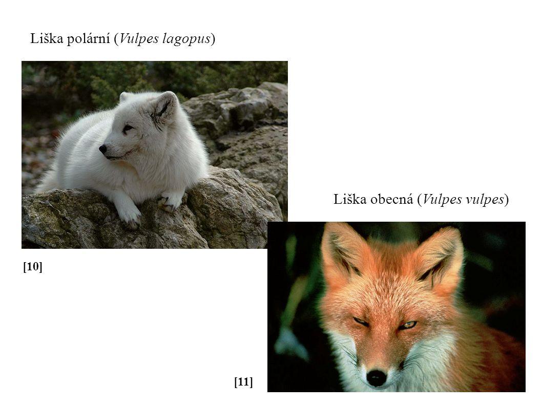 [10] Liška polární (Vulpes lagopus) [11] Liška obecná (Vulpes vulpes)