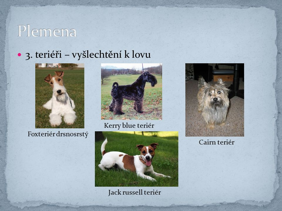 3. teriéři – vyšlechtění k lovu Foxteriér drsnosrstý Kerry blue teriér Cairn teriér Jack russell teriér