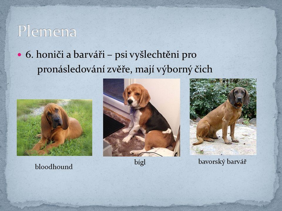 6. honiči a barváři – psi vyšlechtěni pro pronásledování zvěře, mají výborný čich bloodhound bígl bavorský barvář