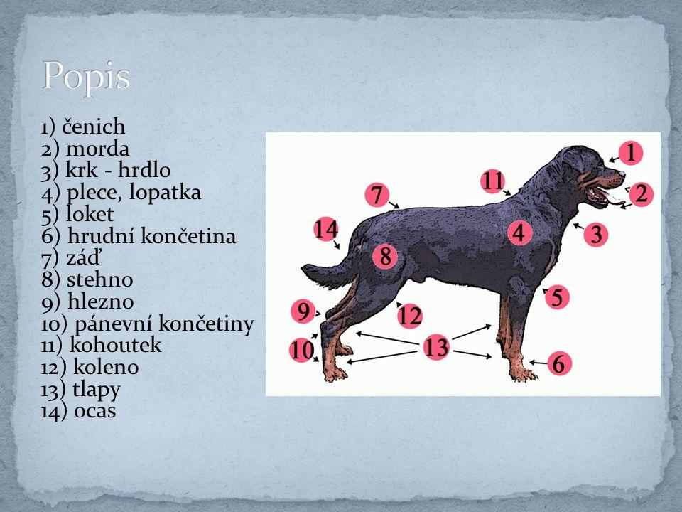 4. jezevčíci – používáni jako myslivečtí psi drsnosrstý dlouhosrstý krátkosrstý