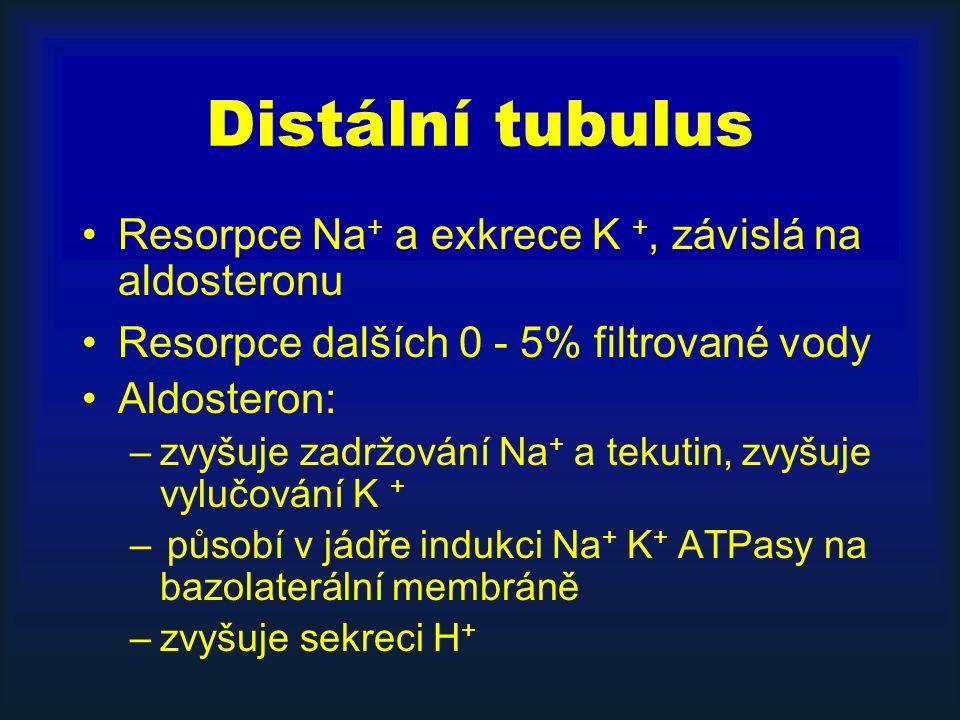 Distální tubulus Resorpce Na + a exkrece K +, závislá na aldosteronu Resorpce dalších 0 - 5% filtrované vody Aldosteron: –zvyšuje zadržování Na + a tekutin, zvyšuje vylučování K + – působí v jádře indukci Na + K + ATPasy na bazolaterální membráně –zvyšuje sekreci H +