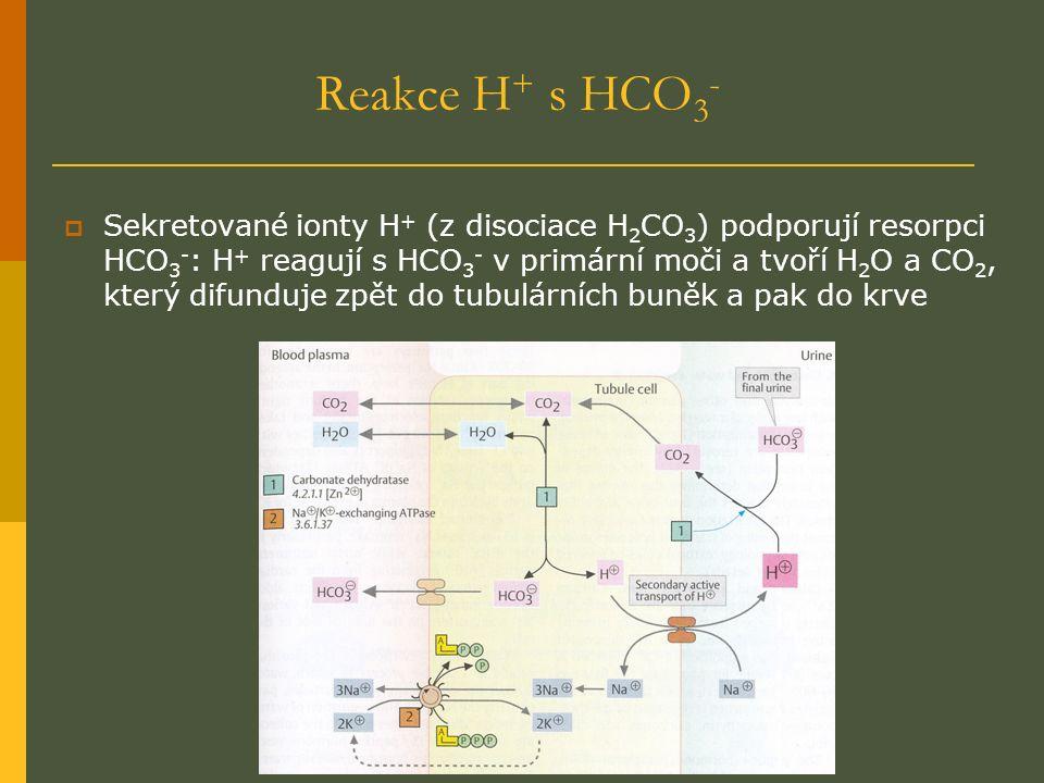 Reakce H + s HCO 3 -  Sekretované ionty H + (z disociace H 2 CO 3 ) podporují resorpci HCO 3 - : H + reagují s HCO 3 - v primární moči a tvoří H 2 O a CO 2, který difunduje zpět do tubulárních buněk a pak do krve